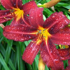 Taglilie mit Wassertropfen