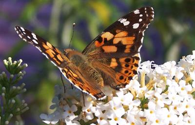 Foto mit Schmetterling auf einer Blüte