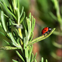 Foto eines Marienkäfers auf einem Rosmarinzweig